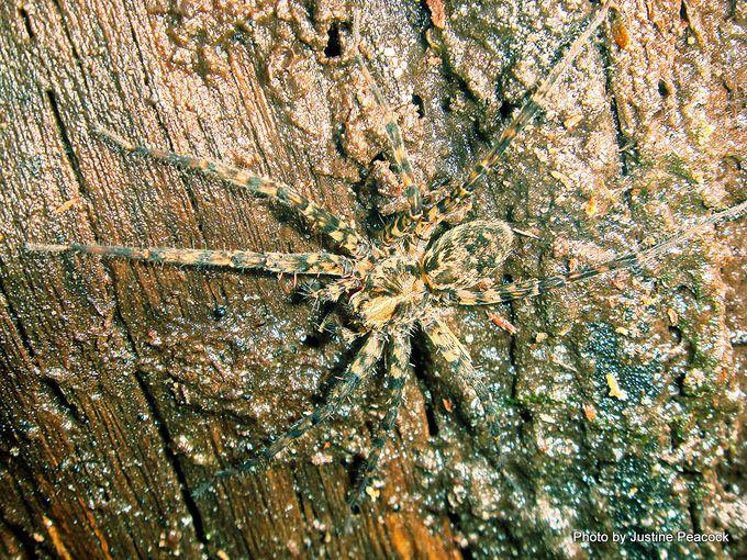 1-genus Cycloctenus Scuttling spider. .JPG