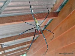 Phil Bendle Collection:Orbweb spider (Golden orb-weaver) Nephila edulis