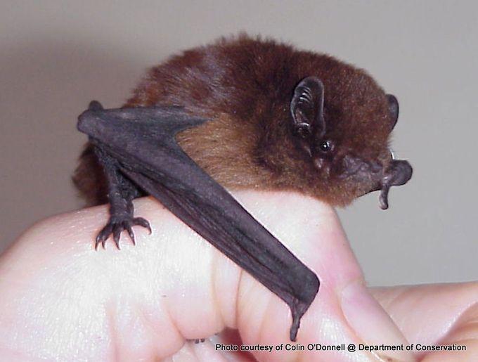1-long-tailed-bat-1200.jpg