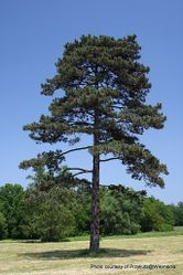 Phil Bendle Collection:Pine (Black pine) Pinus nigra .