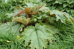 Phil Bendle Collection:Rheum palmatum (Chinese rhubarb)