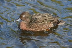 Phil Bendle Collection:Duck (Brown teal) Anas chlorotis