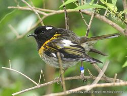 Phil Bendle Collection:Stitchbird (Notiomystis cincta) hihi
