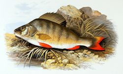 Phil Bendle Collection:Perch (Perca fluviatilis)