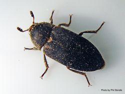 Phil Bendle Collection:Beetle (Hide) Dermestes maculatus