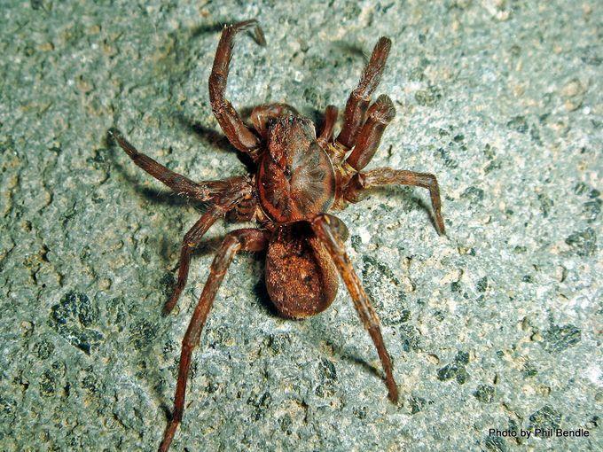 1 Vagrant spider Uliodon spp 13 mm body-003.JPG