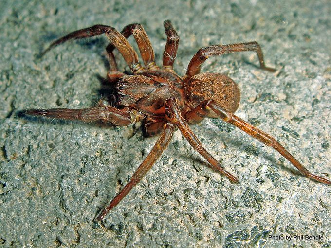 1 Vagrant spider Uliodon spp 13 mm body-004.JPG