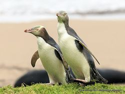 Phil Bendle Collection:Penguin (Yellow eyed) Megadyptes antipodes