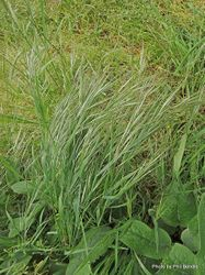 Phil Bendle Collection:Bromus diandrus (Ripgut brome)