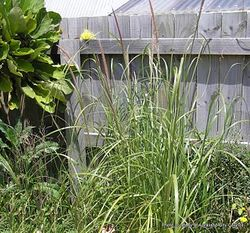 Phil Bendle Collection:Pennisetum macrourum (African feather grass)