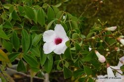 Phil Bendle Collection:Pandorea jasminoides (Bower vine)