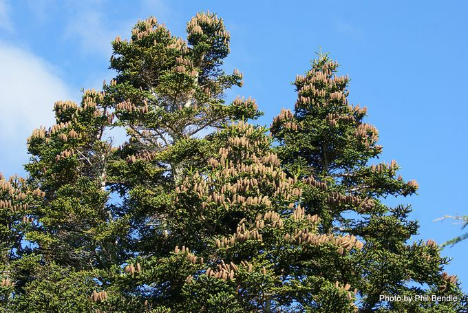 Abies pinsapo. Spanish fir-001.JPG