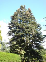 Phil Bendle Collection:Abies pinsapo (Spanish fir)