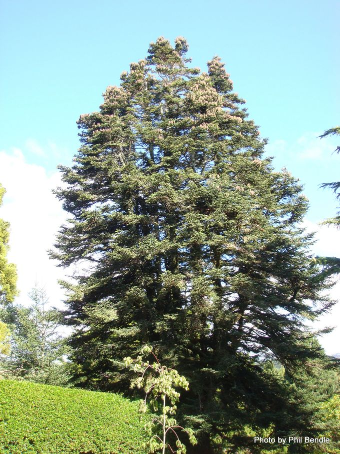 Abies pinsapo. Spanish fir.JPG