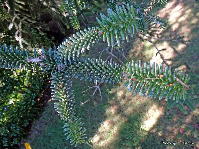 Abies pinsapo Spanish fir -003.JPG