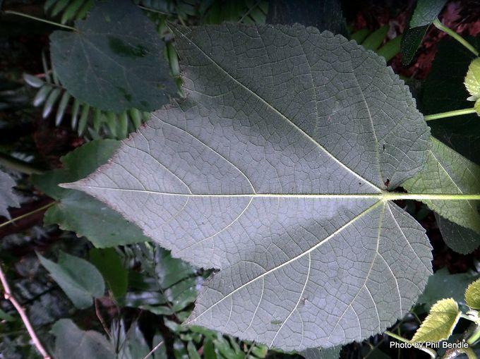 Abutilon hybridum Nabob-004.JPG