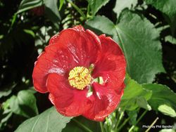 Phil Bendle Collection:Abutilon hybridum Nabob (Red Flowering Maple)