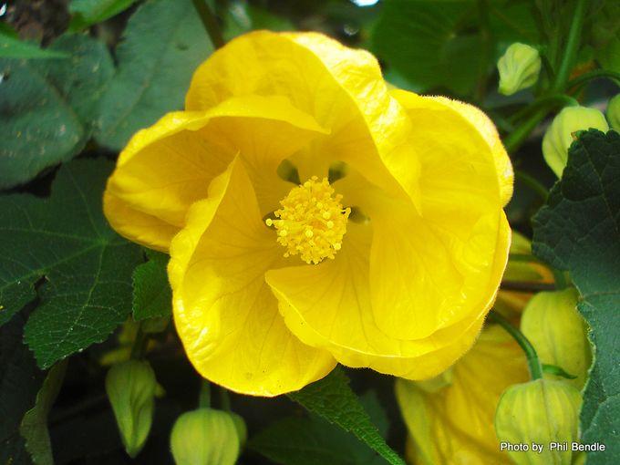 Abutilon pictum Flowering Maple-2.JPG