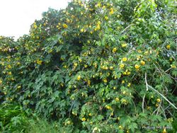 Phil Bendle Collection:Abutilon pictum (Flowering Maple)