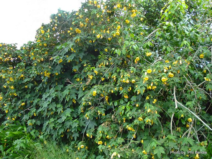 Abutilon pictum Flowering Maple-3.JPG