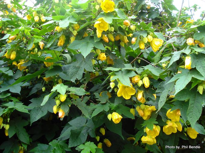 Abutilon pictum Flowering Maple-4.JPG