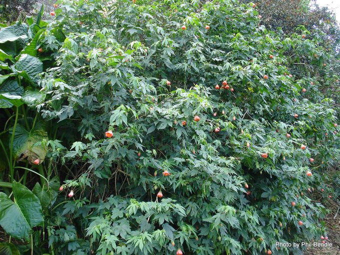 Abutilon pictum Flowering maple -002.JPG
