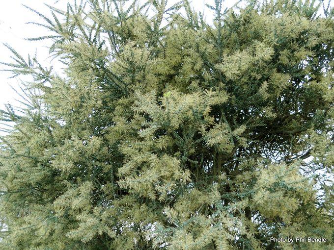 Acacia pravissima-001.JPG