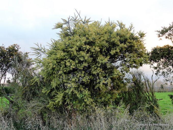 Acacia pravissima.JPG