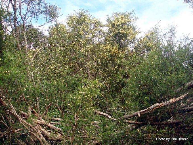 Acacia verticillata Prickly Moses -011.JPG