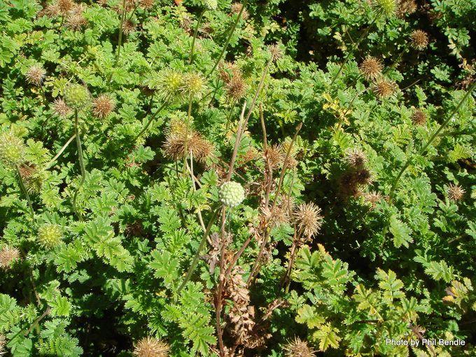 Acaena anserinifolia-002.JPG