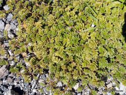 Phil Bendle Collection:Acaena anserinifolia (Piripiri)