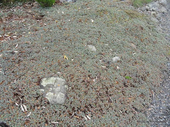 Acaena caesiiglauca Glaucous Bidibid.JPG