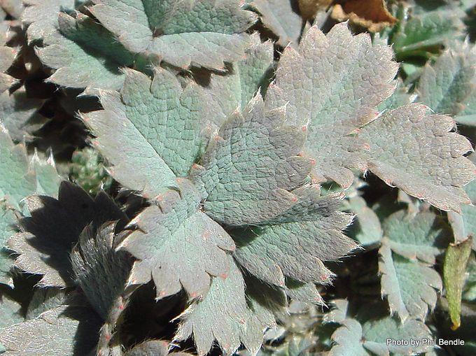 Acaena caesiiglauca Glaucous Bidibid -002.JPG