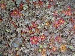 Phil Bendle Collection:Acaena microphylla (Scarlet Bidibid)