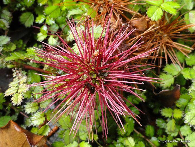 Acaena microphylla Scarlet bidibid-002.JPG