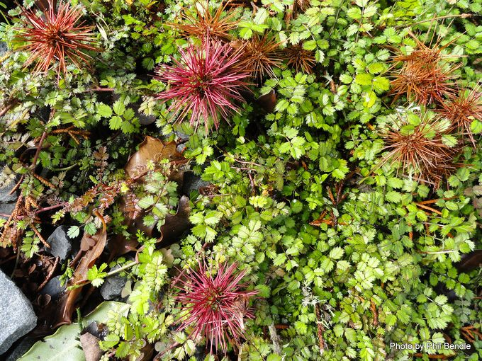 Acaena microphylla Scarlet bidibid-005.JPG
