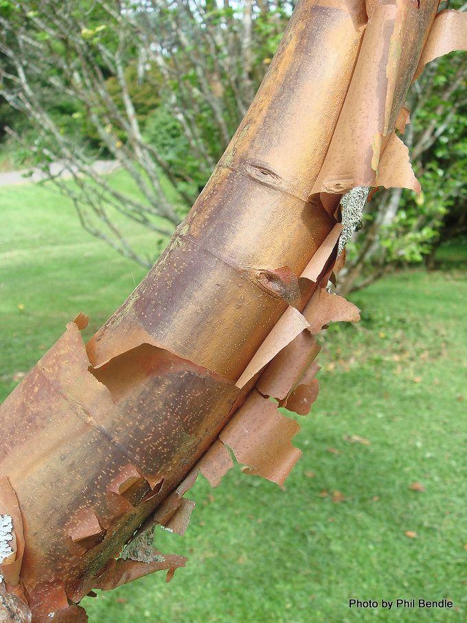 Acer griseum Paperbark Maple-001.JPG