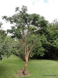 Phil Bendle Collection:Acer griseum (Paperbark maple)