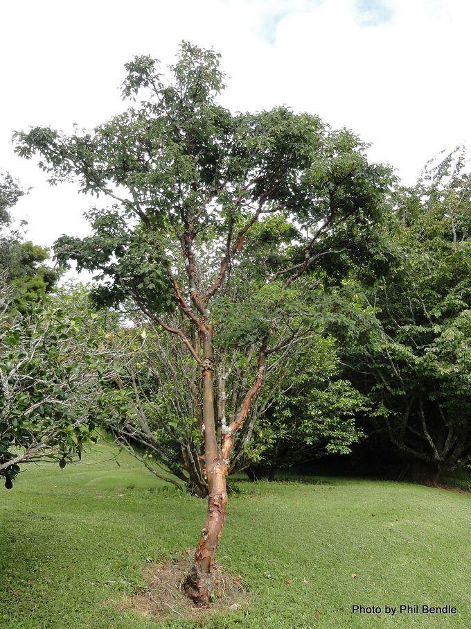 Acer griseum Paperbark Maple.JPG