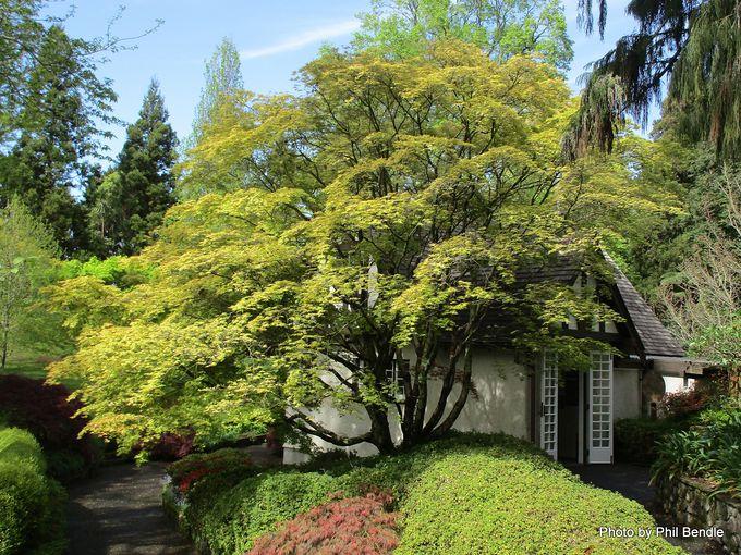 Acer palmatum Aureum Golden-leaved Japanese Maple-001.JPG