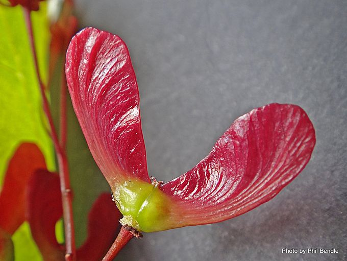 Acer palmatum Cultivar Japanese maple-002.JPG