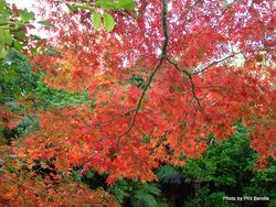 Phil Bendle Collection:Acer species (Maples)