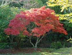 Phil Bendle Collection:Acer palmatum (Japanese maple)