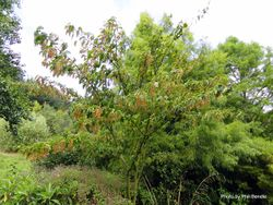 Phil Bendle Collection:Acer rufinerve (Snake-bark Maple)