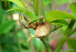 Phil Bendle Collection:Domestic spider (Achaearanea tepidariorum)