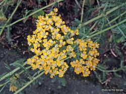Phil Bendle Collection:Achillea millefolium 'Terracotta' (Yarrow Terracotta)