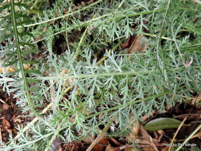 Achillea millefolium 'Terracotta'-002.JPG