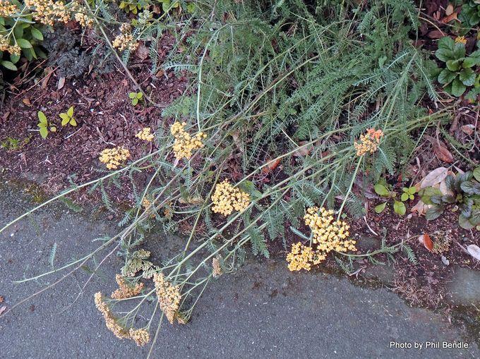 Achillea millefolium 'Terracotta'.JPG