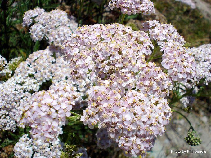 Achillea millefolium Yarrow -001.JPG