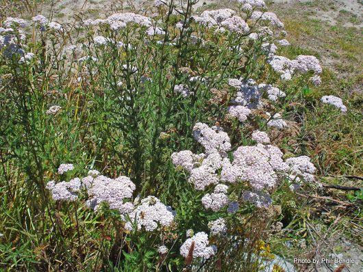 Achillea millefolium Yarrow .JPG